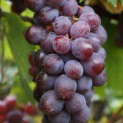 vinograd-vishenka-2