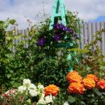 Совместимость розы, клематиса и гортензии