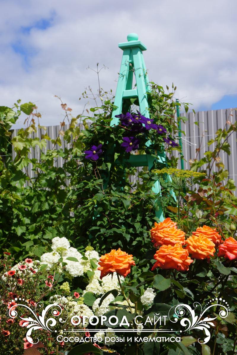 Плетистые розы в саду уход и выращивание 81