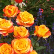 Сочетание розы, лаванды и лапчатки