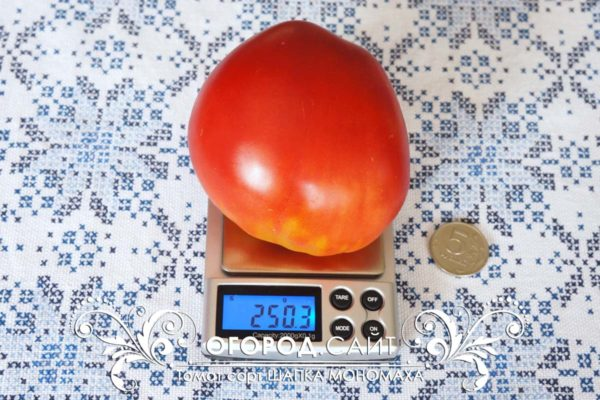 pomidor-shapka-monomaha-1