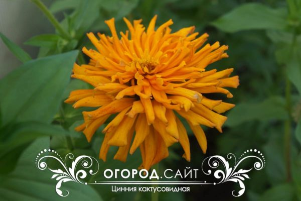tsinniya-kaktusovidnaya-1