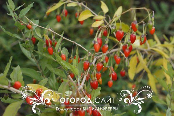 godzhi-sort-big-lifeberry-2