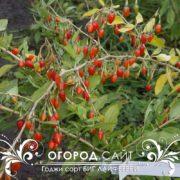 godzhi-sort-big-lifeberry-3