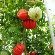 pomidor-amerikanskiy-rebristy-rozovy-6