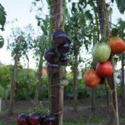 Урожайный томат сорт Аметистовая драгоценность
