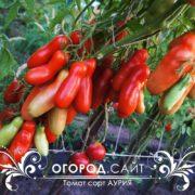 семена томата аурия купить почтой
