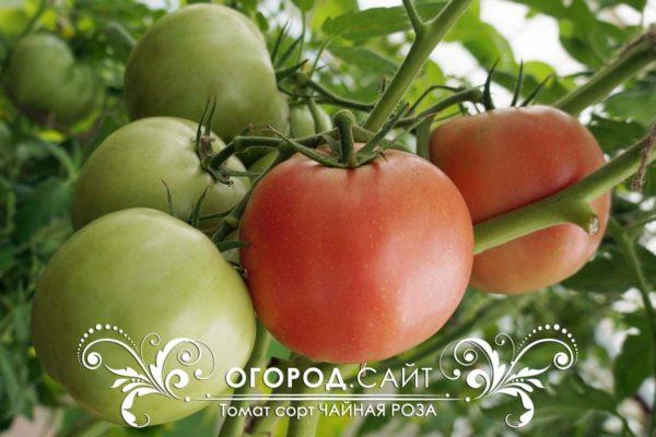 pomidor-chaynaya-roza-4
