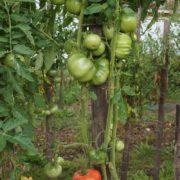 pomidor-dikaya-roza-1