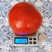 pomidor-dikaya-roza-5