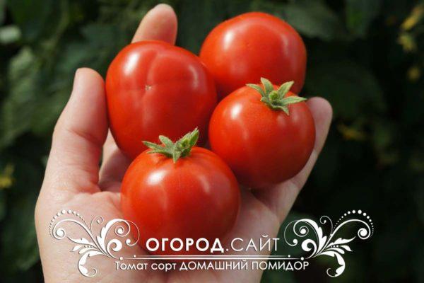 Томат сорт Домашний помидор очень ранний