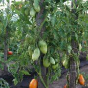 Томаты Дынные очень урожайны даже в холодное лето