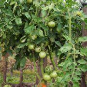 pomidor-ekstremal-3