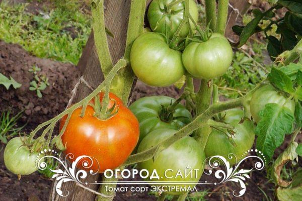 pomidor-ekstremal-5