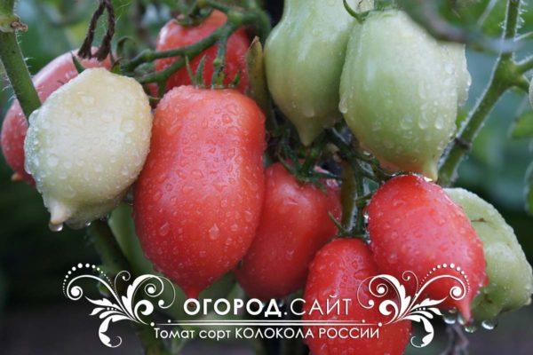 pomidor-kolokola-rossii-2