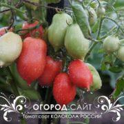 pomidor-kolokola-rossii-4