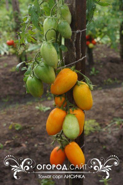 pomidor-lisichka-1