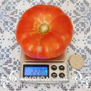 pomidor-medvezhya-lapa-rozovaya-2