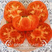 pomidor-medvezhya-lapa-rozovaya-4