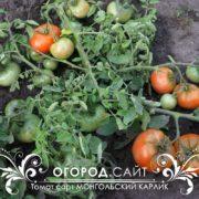томат монгол карлик купить семена