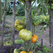 томат мятные фото урожайность