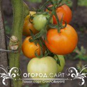 Купить семена томатов сорта Очарование