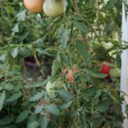 pomidor-persik-blov-satton-5