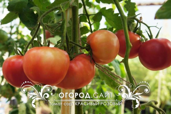 pomidor-rozovy-krasivy-2