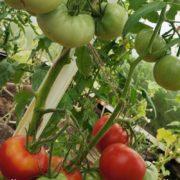 pomidor-rozovy-krasivy-5