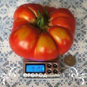 Крупный томат сорт Сибирский великан розовый на весах