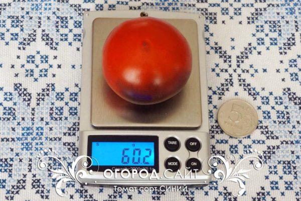 pomidor-siniy-1