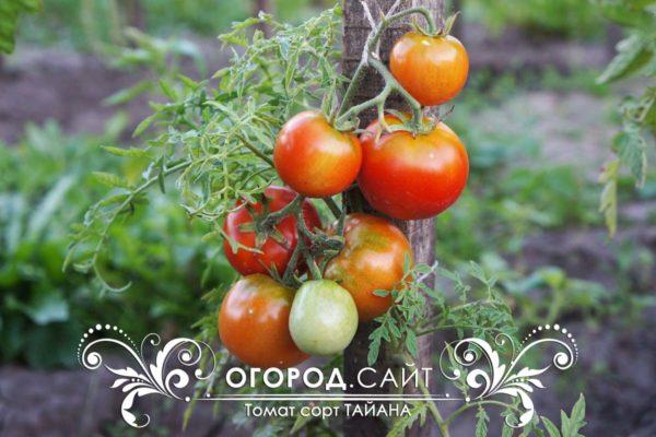 pomidor-tayana-2