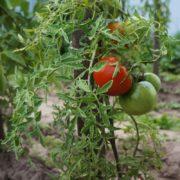 pomidor-tayana-6