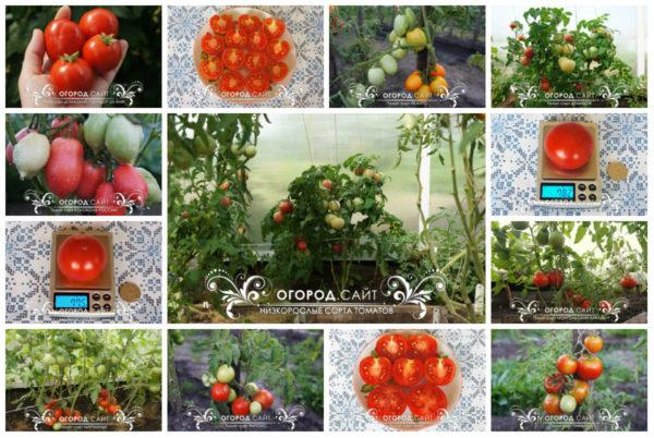 купить томаты для открытого грунта