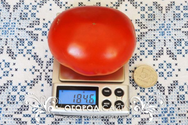 pomidor-burkovskiy-ranniy-1