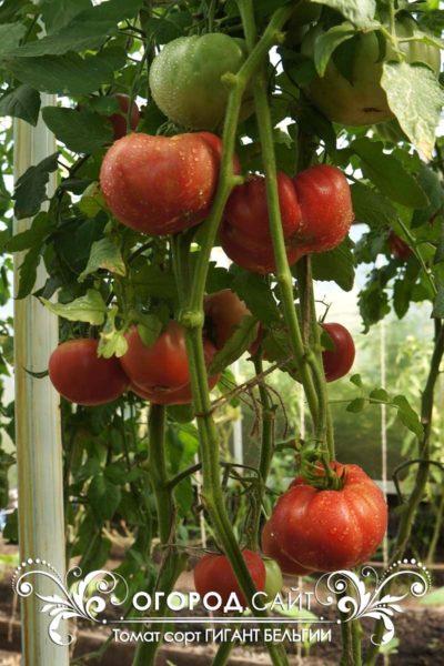 pomidor-gigant-belgii-4