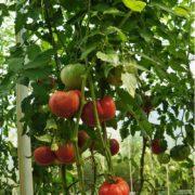 pomidor-gigant-belgii-5