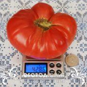 pomidor-gigant-belgii-6