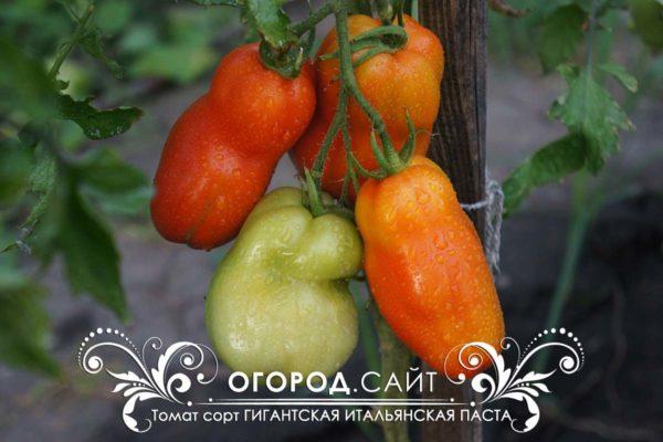 pomidor-gigantskie-italyanskie-pasty-2