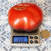 pomidor-golubaya-prelest-2
