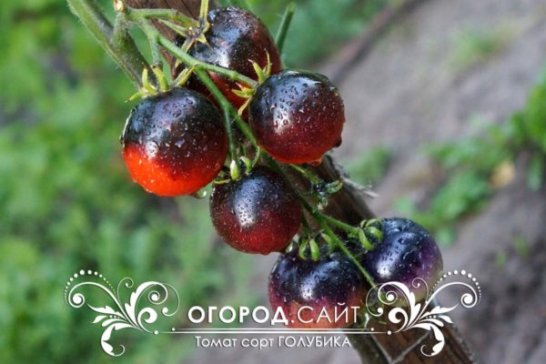 pomidor-golubika-5