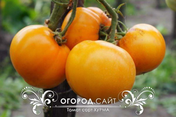 помидоры хурма описание сорта фото