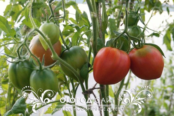 помидор клубничное дерево