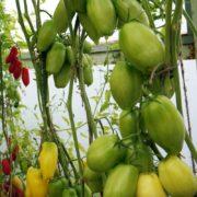 индетерминантный томат для теплицы