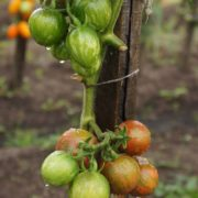 pomidor-vernisazh-cherny-1