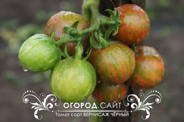 pomidor-vernisazh-cherny-5