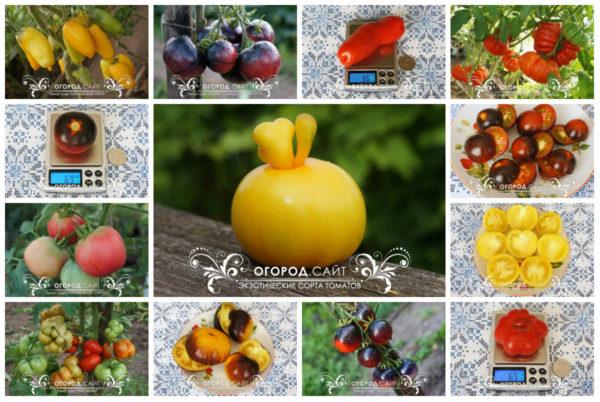 купить экзотические томаты от коллекционеров