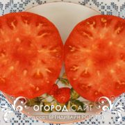 pomidor-brandywine-sudduth-strain-7