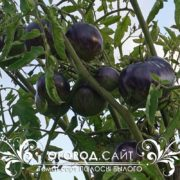 pomidor-polosy-bylogo-4