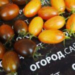 томат атомный виноград бреда, помидор стыдливый румянец